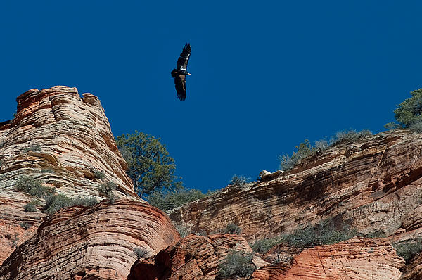 Condor Above Angels Landing Photograph  - Condor Above Angels Landing Fine Art Print