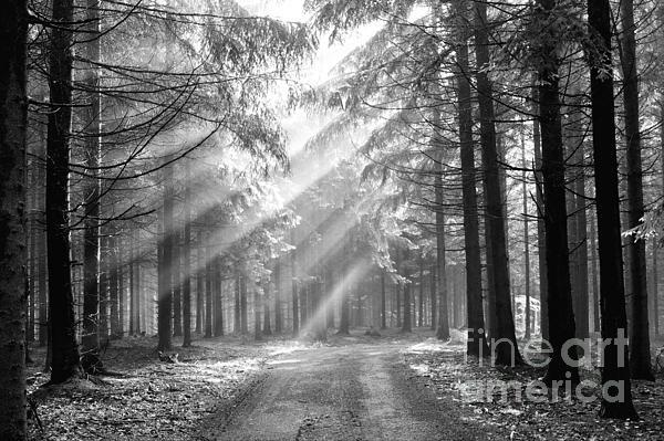 Conifer Forest In Fog Print by Michal Boubin
