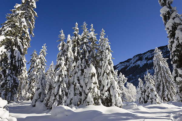 Coniferous Forest In Winter Print by Konrad Wothe