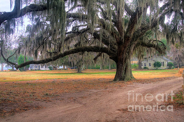 Scott Hansen - Coosaw Plantation Live Oak