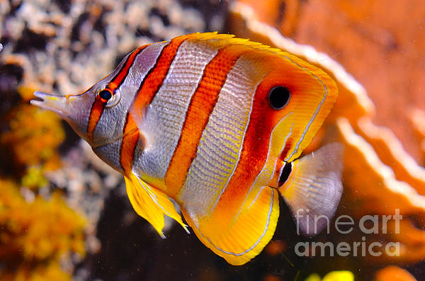 Copperband Butterfly Fish Print by Pravine Chester