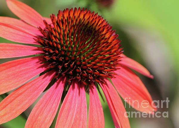 Coral Cone Flower Too Print by Sabrina L Ryan