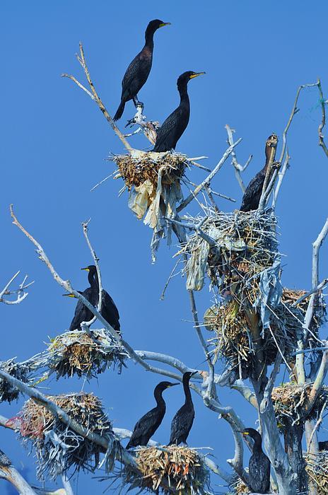 Lisa  DiFruscio - Cormorant Habitat