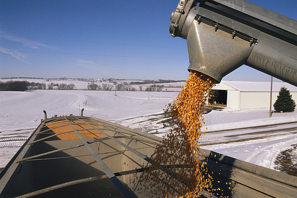 Corn Pours From An Auger Into A Grain Print by Joel Sartore