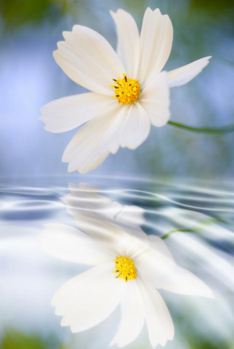 Cosmea Flower - Reflection In Water Print by Silke Magino