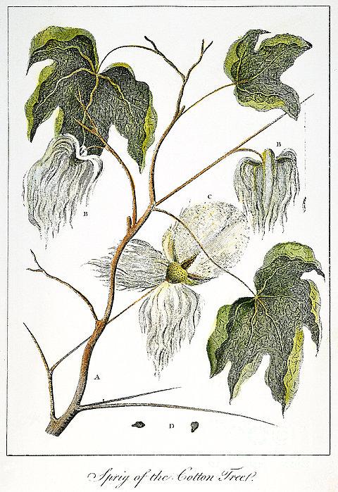 Cotton Plant, 1796 Print by Granger