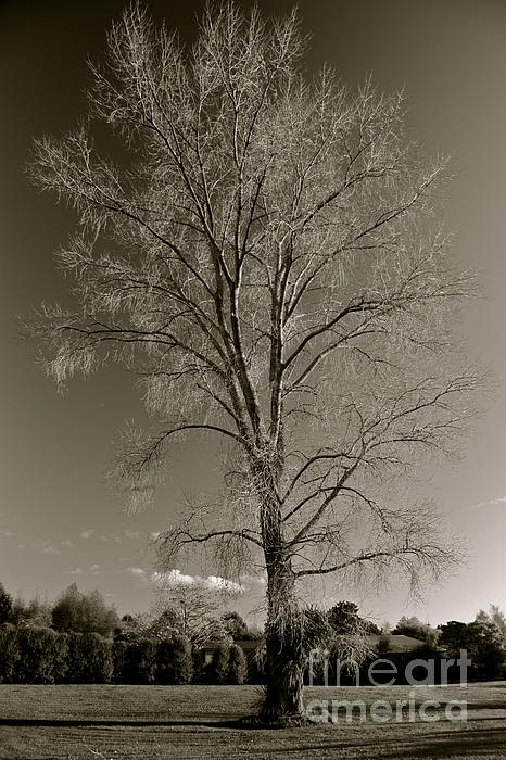 LEX Photography by Alex King - Cottonwood Tree