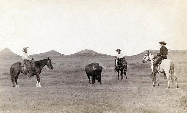Cowboys, Roping A Buffalo Print by Everett