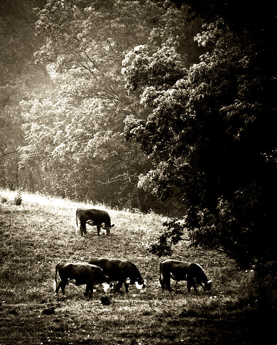 Steve Buckenberger - Cows Breaking Their Fast