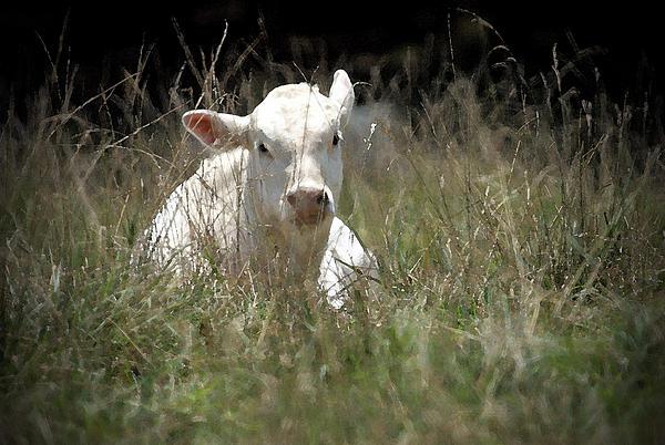 Cow's Meadow Print by Karol  Livote