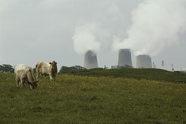 Cows Near Sellafield, One Print by Karen Kasmauski