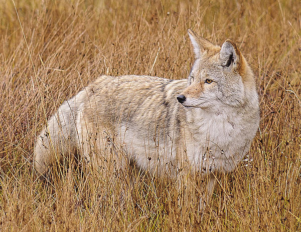 Donald Kovalsky - Coyote in Dry grass #2