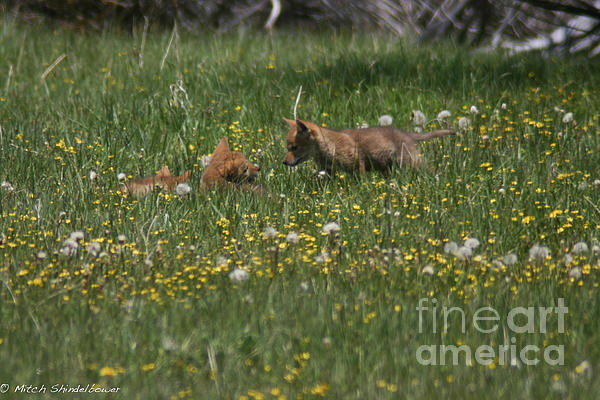 Mitch Shindelbower - Coyote Puppies And Wildflowers