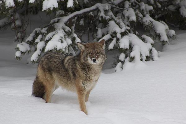 Sylvia Hart - Coyote