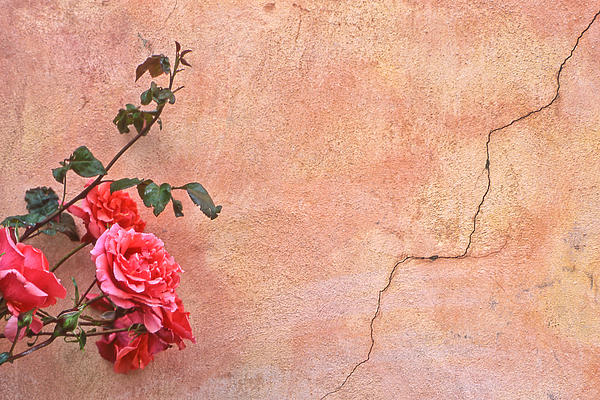 Cracked Wall and Rose Photograph