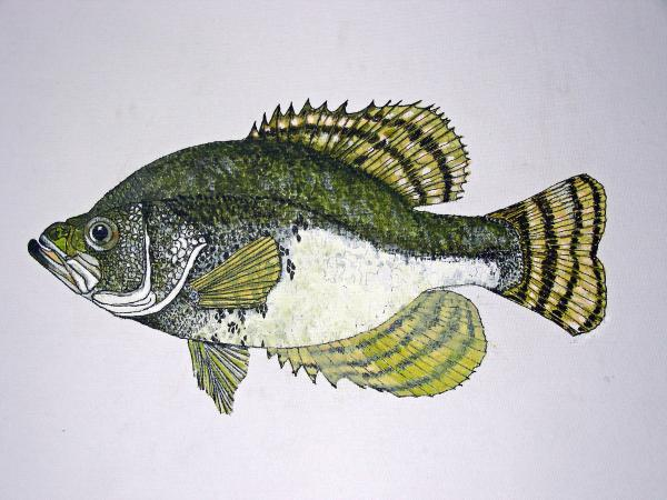 Crappie Fish Of Usa  Print by Don Seago