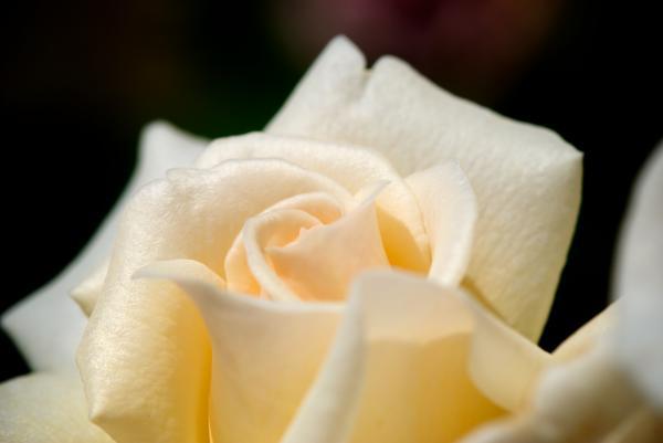 Cream Rose Kisses Print by Lisa Knechtel