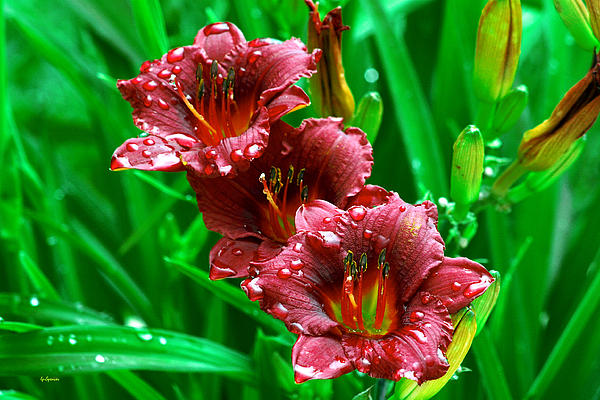 Lisa  Spencer - Crimson Lilies in April Shower