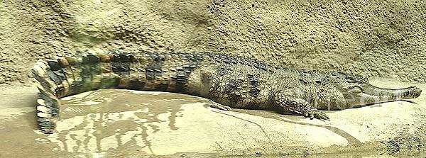 Vince Vonfrese - Crocodile Rock