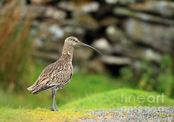 Curlew Print by Clare Scott