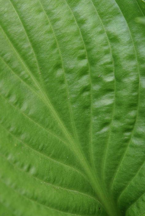 Karol  Livote - Curvy Leaf Lines