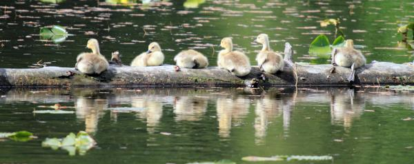 Cute Canadian Geese Chicks Print by Pierre Leclerc Photography