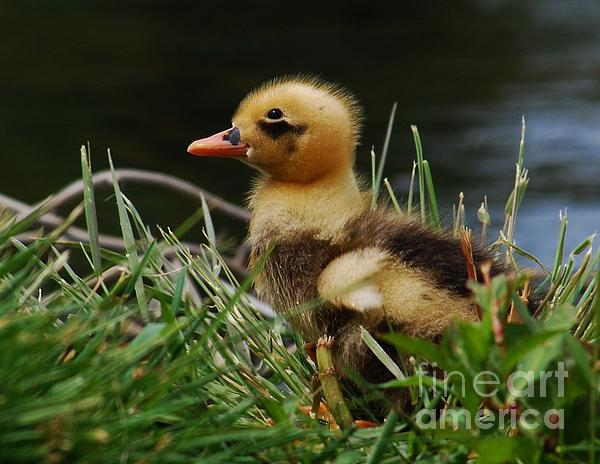 Joy Bradley - Cute Mallard Duck