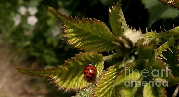 Garnett  Jaeger - Cute red ladybug