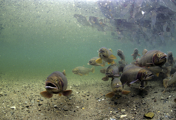 Cutthroat Trout School In Lake Print by Michael S. Quinton