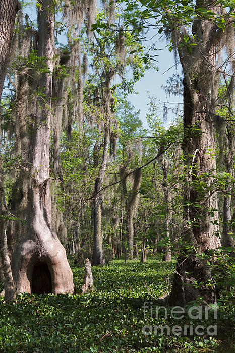 Cypress Trees And Water Hyacinth In Lake Martin Print by Louise Heusinkveld