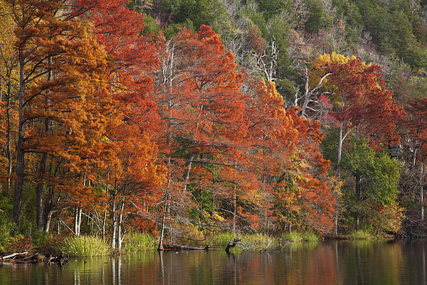 Iris Greenwell - Cypress Trees in the Fork River