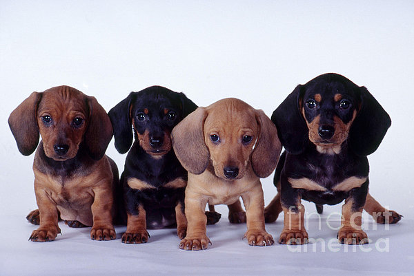 Dachshund Puppies  Print by Carolyn McKeone and Photo Researchers