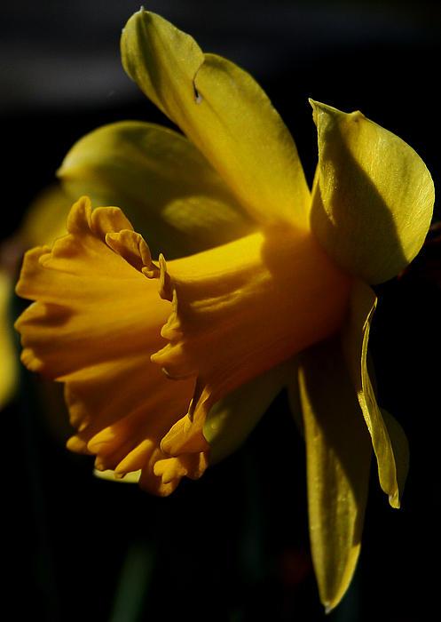 Karen Harrison - Daffodil