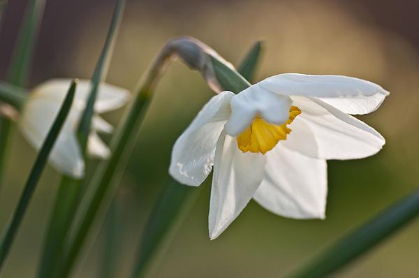Daffodil Print by Ron Smith