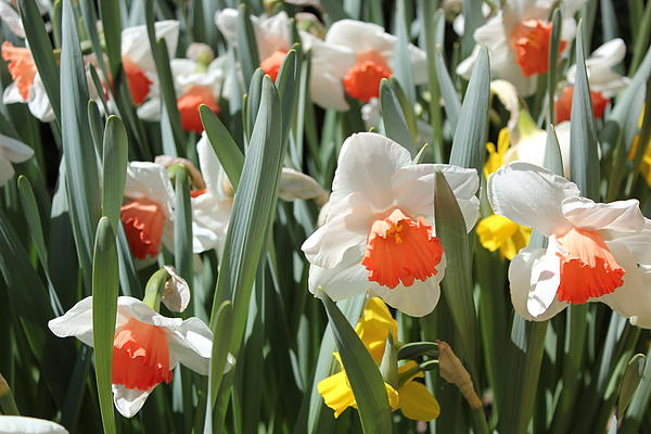 Daffodils Print by Felix Zapata