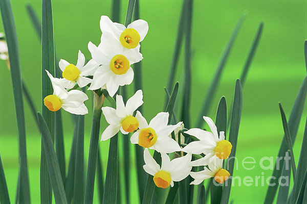 Daffodils (narcissus Canaliculatus) Print by Archie Young