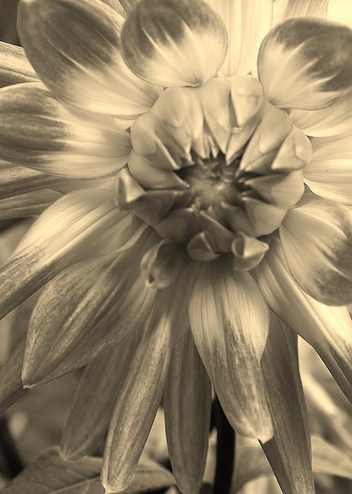 Bruce Bley - Dahlia in Sepia