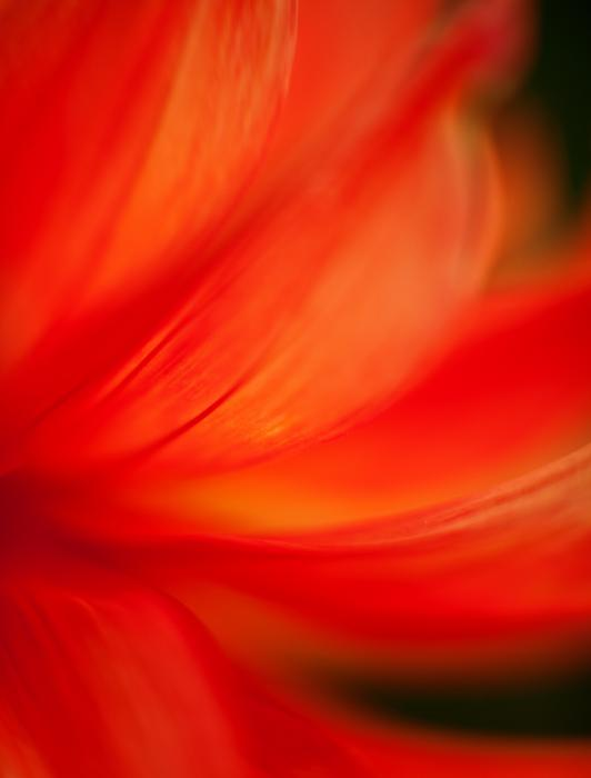 Dahlia On Fire Print by Mike Reid