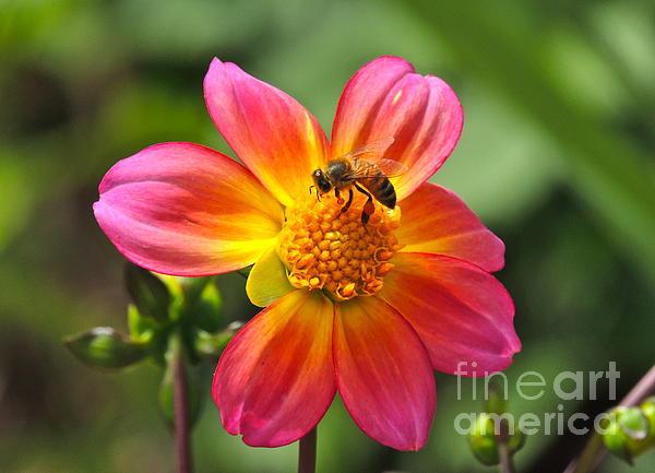 Eve Spring - Dahlia Sun