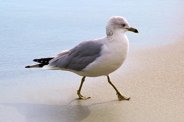 Dainty Sea Gull Print by Paulette Thomas