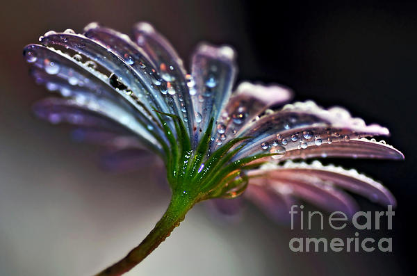 Daisy Abstract With Droplets Print by Kaye Menner
