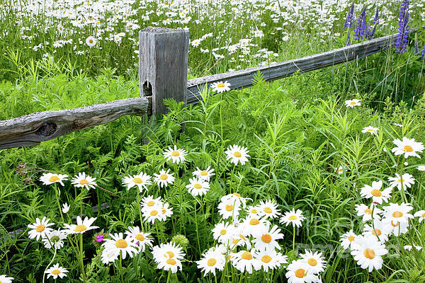 Daisy Fence Print by Susan Cole Kelly