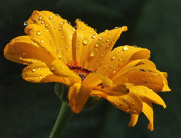 Zeana Romanovna - Daisy In The Rain