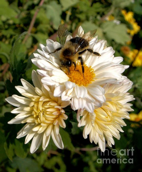 Daisy Mums And Bee Photograph  - Daisy Mums And Bee Fine Art Print