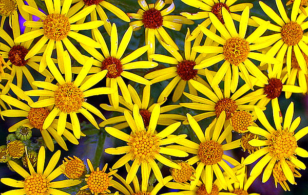 Daisys  Print by Kami McKeon
