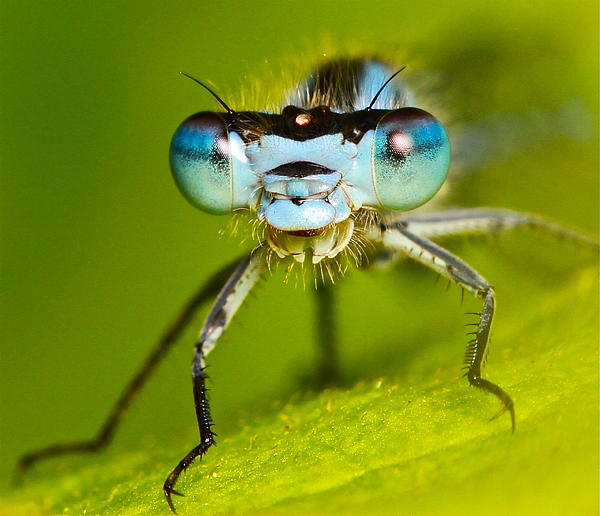 Ronald Monong - Damselfly Portrait
