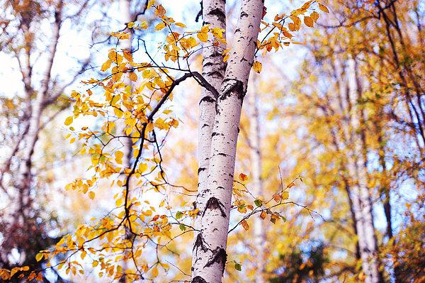 Dancing Birches Print by Jenny Rainbow
