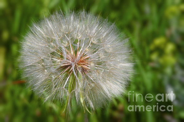 Dandelion Puff - The Summer Queen Print by Christine Till