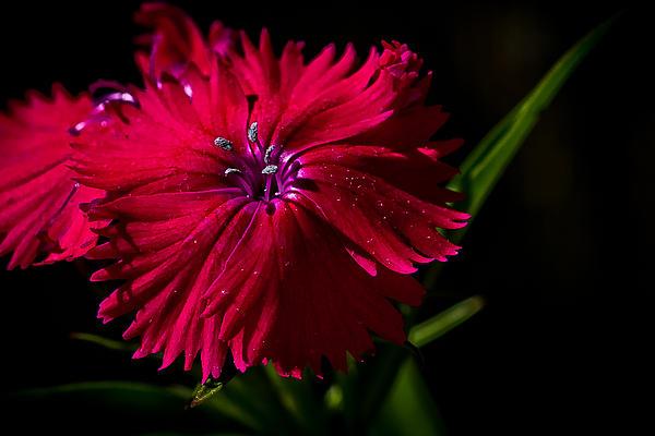 Jerri Moon Cantone - Dark Flower