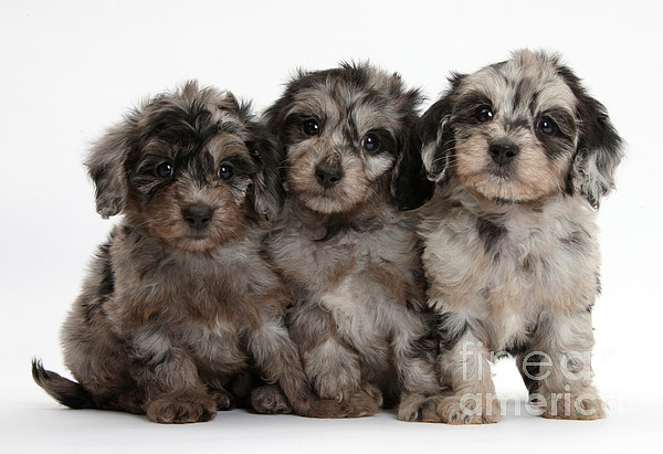 Daxiedoodle Poodle X Dachshund Puppies Print by Mark Taylor